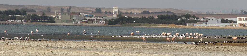 Paracas - flamingo's