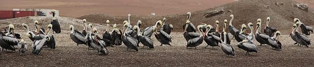 Las Islas Ballestas - vogels
