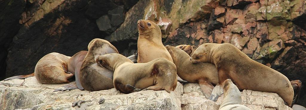 Las Islas Ballestas - Zeehonden
