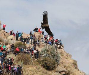 Een condor vliegt heel laag over een uitzichtspunt in de Colca Canyon