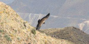 Condor in de Colca Canyon