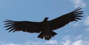 Condor op jacht naar prooi in de Colca Canyon